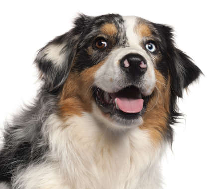 Close-up of Australian Shepherd dog, 1 year old, in front of white background Stock Photo - 9563875