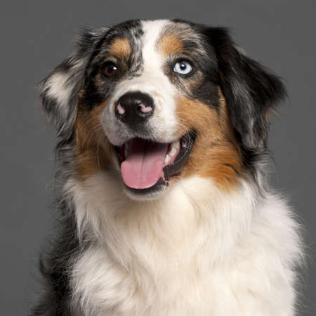 Close-up of Australian Shepherd in front of grey background photo