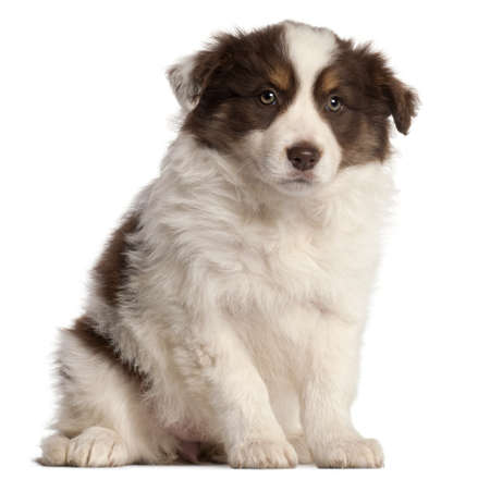 Border Collie puppy, 2 months old, sitting in front of white background photo