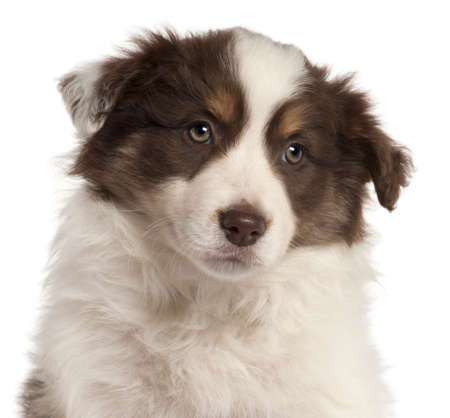 border collie puppy: Close-up of Border Collie puppy, 2 months old, in front of white background