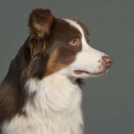 Close-up of Border Collie in front of grey background Stock Photo - 9563800