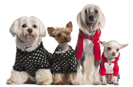 Four dogs dressed up in front of white background photo