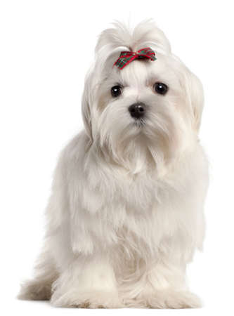 maltese dog: Maltese puppy, 4 months old, in front of white background