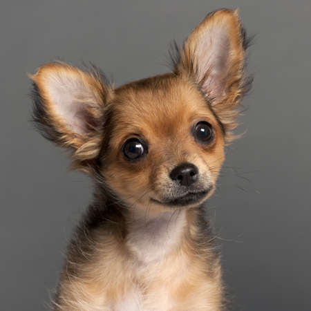 Close-up of Chihuahua in front of grey background photo