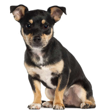 pinscher: Miniature Pinscher, 9 months old, sitting in front of white background