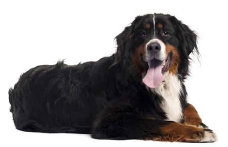 lying on side: Bernese mountain dog, 2 years old, lying in front of white background