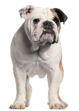 English bulldog, 7 months old, standing in front of white background photo