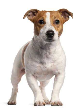 dog isolated: Jack Russell Terrier, 16 months old, standing in front of white background