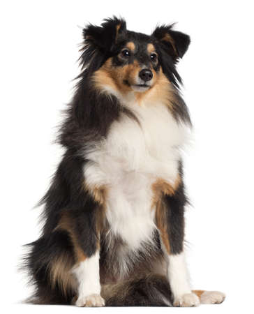 chien de berger: Shetland Sheepdog, 1 an, assis en face de fond blanc