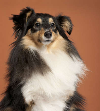 Close-up of Collie in front of orange background Stock Photo - 9564805