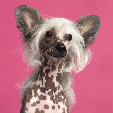 crested: Close-up of Chinese Crested Dog in front of pink background