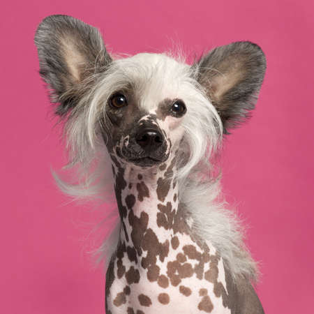 Close-up of Chinese Crested Dog in front of pink background photo