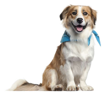 bordercollie: Border Collie wearing blue handkerchief, 1 year old, in front of white background Stockfoto