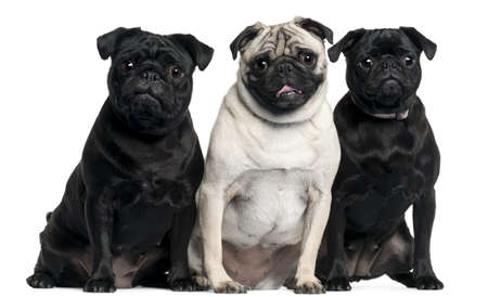black pug: Three Pugs sitting in front of white background Stock Photo