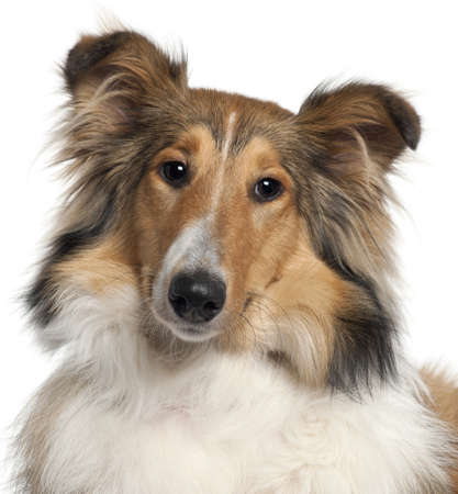 9 months old: Close-up of Scotch Collie, 9 months old, in front of white background