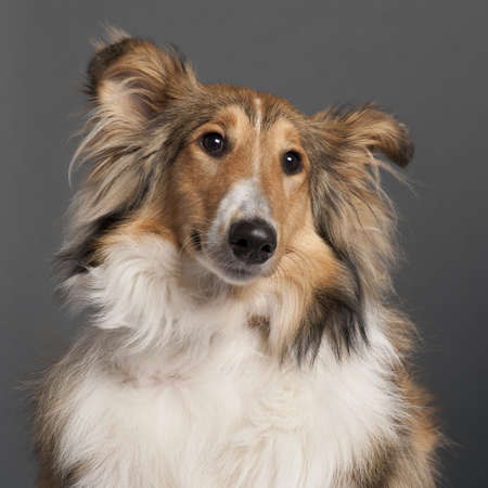 Close-up of Collie in front of grey background photo
