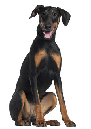 Doberman Pinscher, 8 and a half months old, sitting in front of white background photo