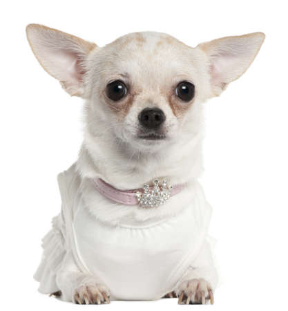 Chihuahua wearing tiara collar, 10 months old, in front of white background Stock Photo - 9563381