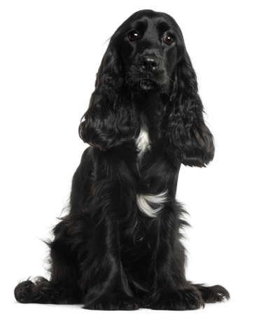 English Cocker Spaniel, 8 months old, sitting in front of white background photo