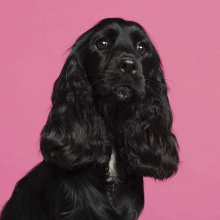 Close-up of English Cocker Spaniel in front of pink background Stock Photo - 9563801