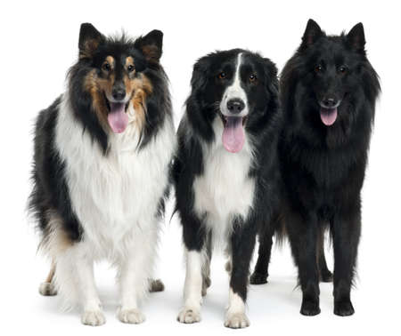 Collies standing in front of white background photo