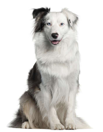 bordercollie: Border Collie, 2 years old, sitting in front of white background Stockfoto