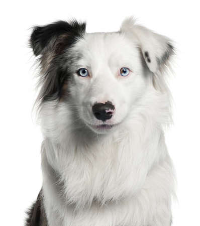 border collie: Close-up of Border Collie, 2 years old, in front of white background Stock Photo