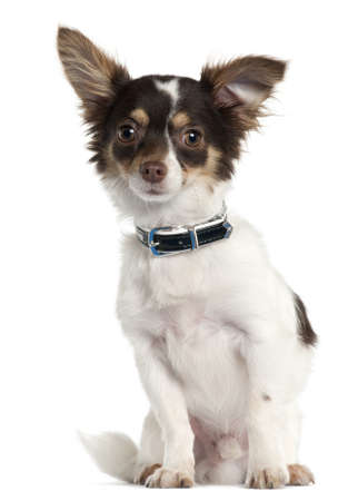Chihuahua, 7 month old, sitting in front of white background Stock Photo - 9563406