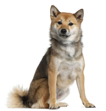 Shiba Inu, 1 year old, sitting in front of white background photo