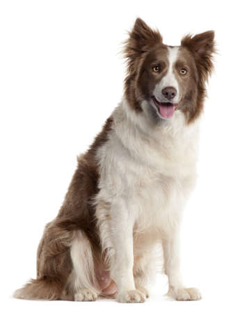 collie: Border Collie, 2 years old, sitting in front of white background Stock Photo