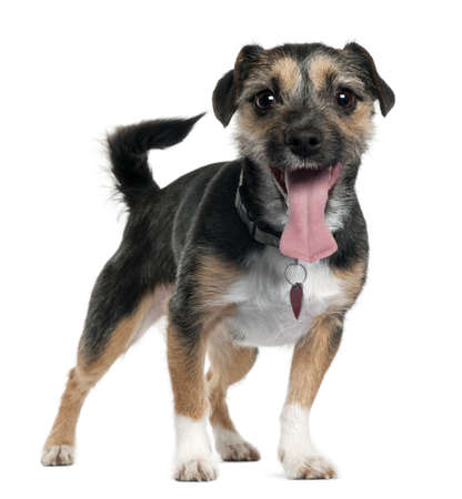 Jack Russell Terrier, 2 years old, standing in front of white background Stock Photo - 9563941