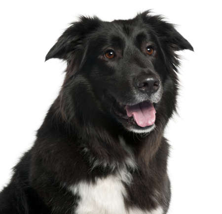 Close-up of Border Collie, 5 years old, in front of white background photo