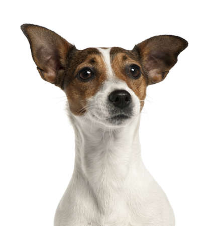 Close-up of Jack Russell Terrier, 2 years old, in front of white background Stock Photo - 9563634