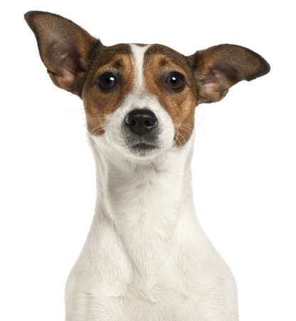 dog portrait: Close-up of Jack Russell Terrier, 2 years old, in front of white background Stock Photo