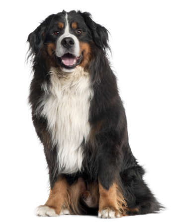 Bernese Mountain Dog, 6 years old, sitting in front of white background photo