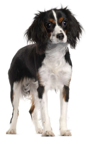 Cavalier King Charles Spaniel, 7 months old, standing in front of white background photo