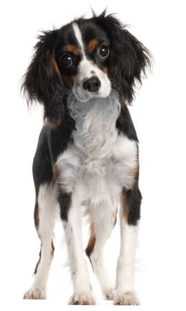 Cavalier King Charles Spaniel, 7 months old, standing in front of white background Stock Photo - 9563396