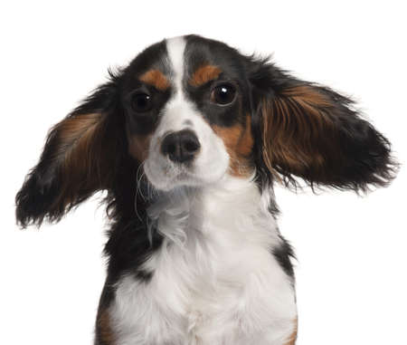 Close-up of Cavalier King Charles Spaniel, 7 months old, with hair in the wind in front of white background Stock Photo - 9563999