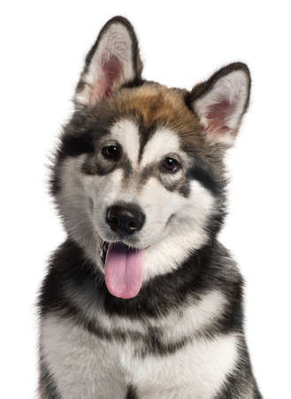 animal tongue: Close-up of Alaskan Malamute puppy, 5 months old, in front of white background Stock Photo