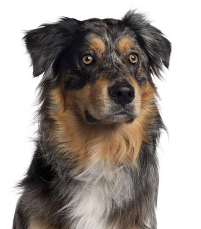 Close-up of Australian Shepherd dog, 6 months old, in front of white background photo