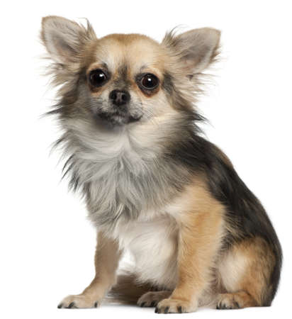 Chihuahua sitting in front of white background Stock Photo - 9563962
