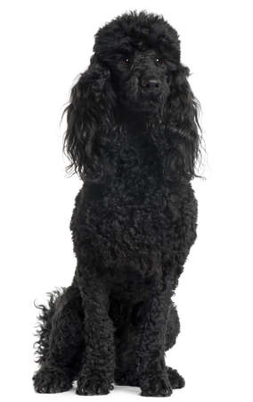 Poodle, 18 months old, sitting in front of white background photo