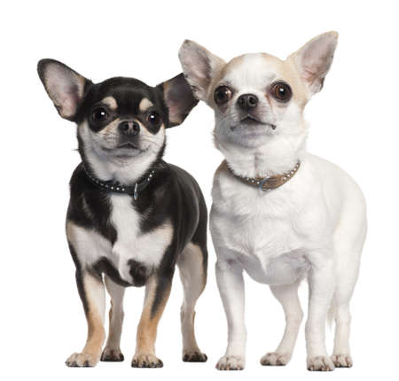 Two Chihuahuas in front of white background Stock Photo - 9563735