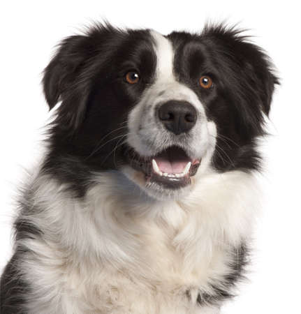 Close-up of Border Collie, 14 months old, in front of white background photo