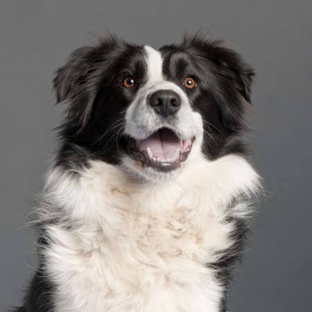 Close-up of Border Collie, 14 months old, in front of grey background photo