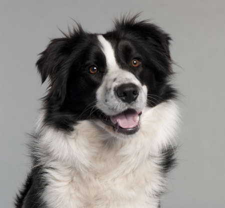 Close-up of Border Collie, 14 months old, in front of grey background Stock Photo - 9564299