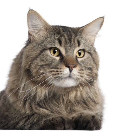 Close-up of Maine Coon, 2 years old, in front of white background Stock Photo - 9564716