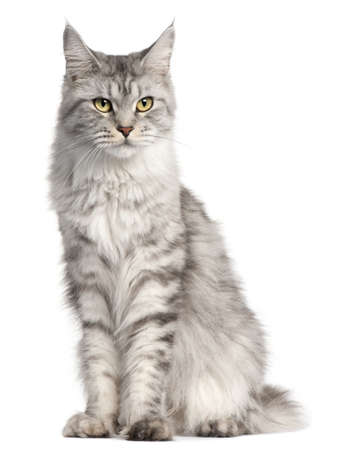 coon: Maine Coon, 2 years old, sitting in front of white background Stock Photo