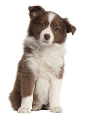 Border Collie puppy, 8 weeks old, sitting in front of white background Stock Photo - 9563691