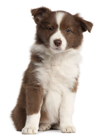 Border Collie puppy, 8 weeks old, sitting in front of white background photo